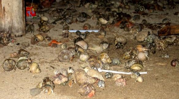 Hermit Crabs at Had Farang, Koh Mook