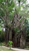 500-year Old Balete Tree