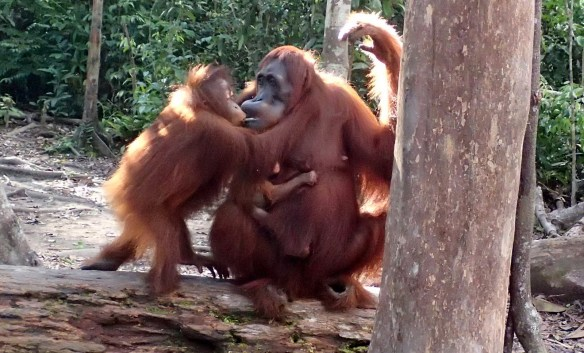 Orangutans kissing, while the smaller babay hangs off the side